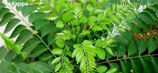 растение карри