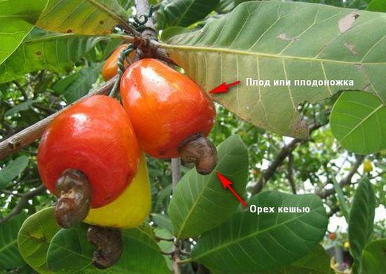 фото плод ореха
